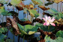 El brote de una flor de loto rosada Imagen de archivo libre de regalías