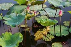El brote de una flor de loto rosada Fotografía de archivo libre de regalías