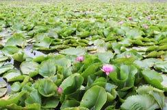 El brote de una flor de loto rosada Imágenes de archivo libres de regalías