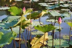 El brote de una flor de loto rosada Imagen de archivo