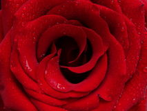 El brote de una rosa roja Fotografía de archivo libre de regalías