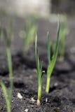 El brote del ajo crece de la tierra Fotografía de archivo