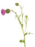El brote del cardo del tronco y la flor floreciente aislados en blanco imagenes de archivo