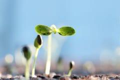 El brote del girasol/la semilla de girasol germinó en suelo/o recién nacido Fotografía de archivo libre de regalías
