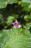 El brote del loto Foto de archivo