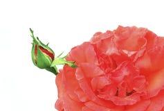 El brote del rosas decorativas rojas. Imagen de archivo libre de regalías