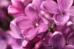 El brote hermoso floreció de lilas Foto de archivo libre de regalías