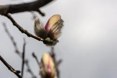 El brote mullido de la magnolia blanca est? a punto de abrirse Milagro que espera del d?a de primavera soleado para fotografía de archivo