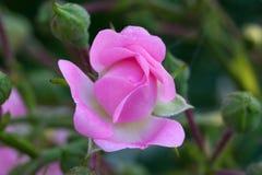 El brote rosado del jardín subió Imagen de archivo