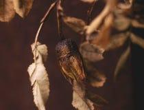 el brote subió macro que marchitaba del otoño del color del braun de las hojas Fotografía de archivo libre de regalías