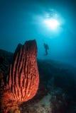 El buceador evalúa un cierto coral duro y una esponja del barril Fotos de archivo libres de regalías