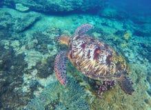 El bucear con la foto subacuática de la tortuga Imagen de archivo libre de regalías