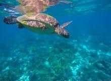 El bucear con la laguna de la tortuga n del mar Imágenes de archivo libres de regalías