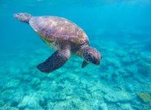 El bucear con la tortuga de mar en laguna azul Fotografía de archivo libre de regalías