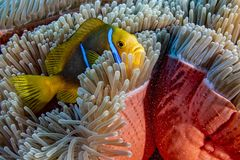 El bucear en anémona de los pescados del payaso de la laguna del agua de la turquesa de Polinesia francesa imágenes de archivo libres de regalías