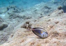 El bucear en el Mar Rojo Fotos de archivo