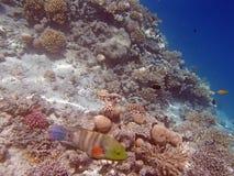 El bucear en el Mar Rojo Foto de archivo libre de regalías