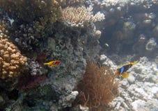 El bucear en el Mar Rojo Fotografía de archivo libre de regalías