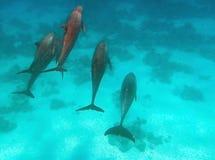 El bucear en el Mar Rojo Imagenes de archivo