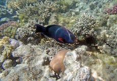 El bucear en el Mar Rojo Imagen de archivo