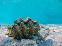 El bucear subacuático del Mar Rojo de la cáscara del mar foto de archivo