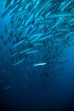 El buceo con escafandra azul del buceador del carita de la barracuda de la caballa bunaken el océano de Indonesia imágenes de archivo libres de regalías