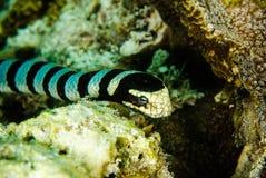 El buceo con escafandra del buceador de la serpiente de mar bunaken el colubrina del laticauda del océano de Indonesia Foto de archivo libre de regalías