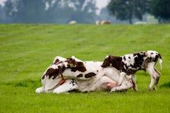 El buey está mirando la vaca de la madre imágenes de archivo libres de regalías