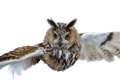 El buho en vuelo. Foto de archivo libre de regalías