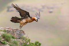 El buitre barbudo adulto saca de la montaña después de encontrar la comida Fotografía de archivo libre de regalías