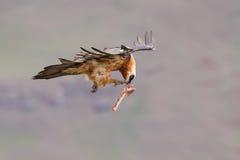 El buitre barbudo adulto saca de la montaña después de encontrar la comida Fotografía de archivo
