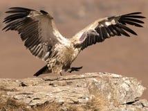 El buitre del cabo apenas que aterrizaba tomar una medida con las alas todavía extendió completamente Imagenes de archivo