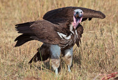 El buitre espigado africano coloca la extensión de las alas Fotos de archivo libres de regalías