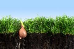 El bulbo de flor con el brote está creciendo en los wi del césped de la hierba verde imagen de archivo libre de regalías