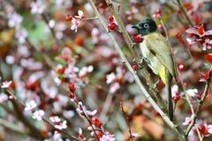 Pájaro expresado amarillo del bulbul Fotos de archivo libres de regalías