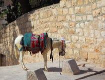 El burro blanco en un harness antiguo Imágenes de archivo libres de regalías