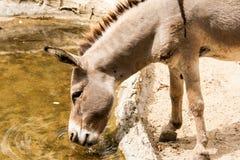 El burro come el agua Imagen de archivo