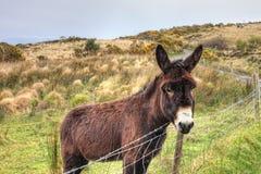 El burro en el prado en Irlanda. Fotos de archivo