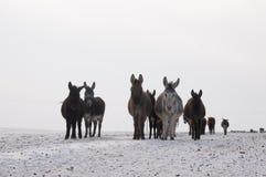 El burro en la nieve Fotos de archivo libres de regalías