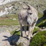El burro gris Imagen de archivo libre de regalías