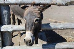 El burro gris mira hacia fuera de detrás la cerca foto de archivo