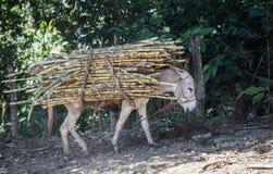 El burro lleva un paquete de caña de azúcar Fotos de archivo libres de regalías