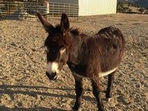 El burro masculino que espera para ser alimentado adentro sequía condiciona Foto de archivo