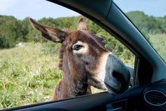 El burro mira en la ventana del coche Imagen de archivo