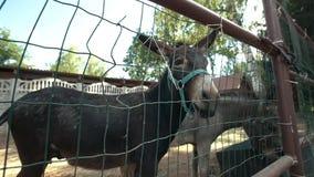 El burro mira fijamente en la distancia en el establo almacen de metraje de vídeo