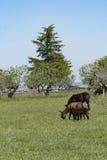 El burro oído hablar pasta en un prado verde Fotos de archivo libres de regalías