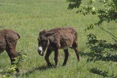 El burro oído hablar pasta en un prado verde Fotos de archivo