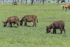El burro oído hablar pasta en un prado verde Imagenes de archivo
