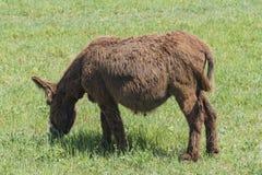 El burro oído hablar pasta en un prado verde Foto de archivo libre de regalías