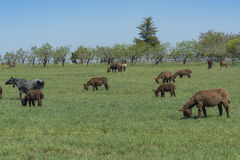 El burro oído hablar pasta en un prado verde Fotografía de archivo libre de regalías
